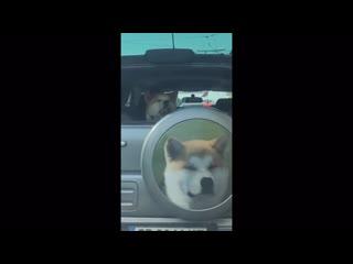 Cute dog in car