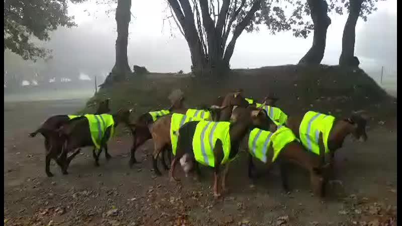 Opération Gilets jaunes ce matin à la chèvrerie mp4