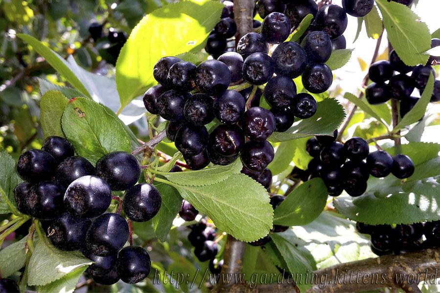Выращивание, уход и обрезка аронии