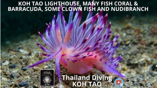 koh tao Lighthouse, many fish coral & barracuda, some clown fish nudibranch Thailand Diving Pattaya