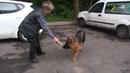Собаки ШОУ КЛАСС или РАБОЧЕЕ РАЗВЕДЕНИЕ сравнение добычной реакции у двух щенков