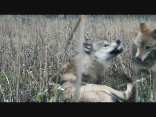 Альфа-самец - Волки - Документальный проект - В мире животных