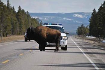 Что делать, если на пути встретился здоровый и опасный зверь Врубить металл погромче !!В штате Монтана на днях произошел случай с бизоном. Животное вышло из леса и встало на шоссе, перегородив