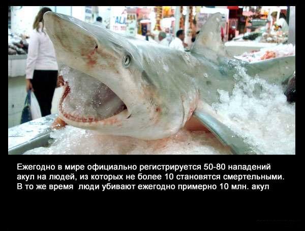 Valteya - Интересные факты о акулах / Хищники морей.(Видео. Фото) - Страница 2 AyizRKjn_i0