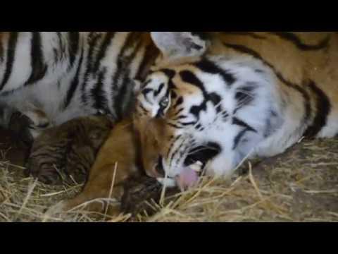 РЕДЧАЙШИЕ КАДРЫ Тигрица рожает ! Rare video Tigress giving birth to a cub