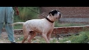 BULLY KUTTA PAKISTANI MASTIFF INDIAN MASTIFF 5 Months old Puppy