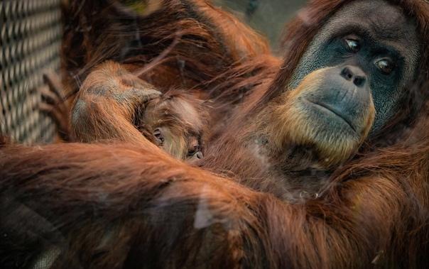 Фото дня: Новорожденный орангутан, появившийся на свет в зоопарке Честера, Великобритания