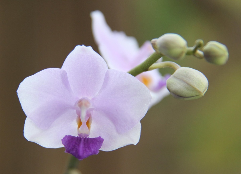 Doritaenopsis Peter «Blue Sky»