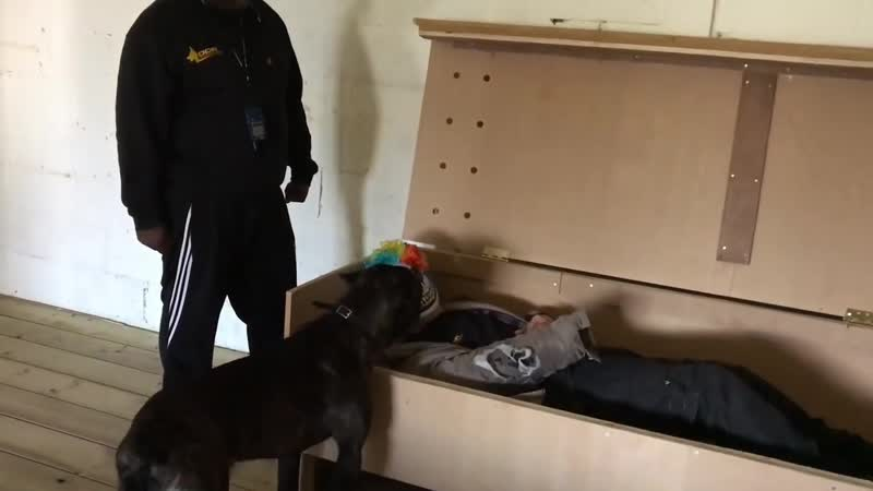 Cane Corso 14 Months Old Car Theft and hidden intruder training