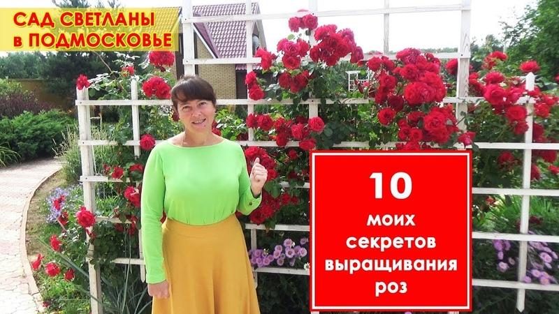 Плетистые и кустовые розы в моем саду 10 советов по посадке и уходу за садовыми розами