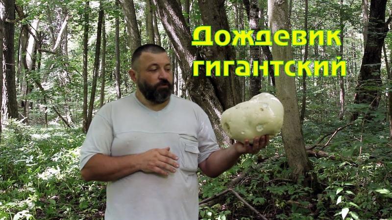Голова́ч гига́нтский лат Calvatia gigantea