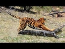 ВЕРСУС Тигр против Крокодила Короткая битва