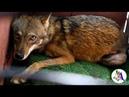 Волк дополз до обочины и молил о помощи проезжающие автомобили - никто не реагировал, и только…