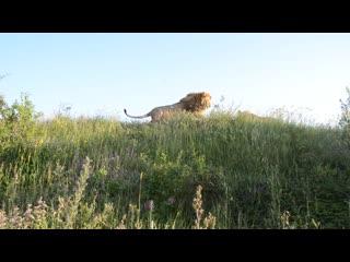 Лев гек метит территорию, а мы собираем землянику !