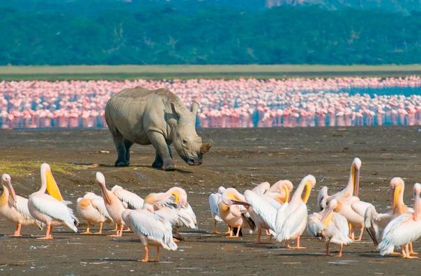Носорог на берегу озера Накуру, национальный парк Накуру, Кения.