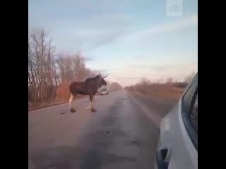 Лось напал на автомобилистов под Тольятти