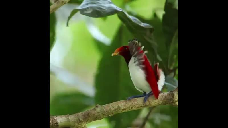 Райский птиц охмуряет
