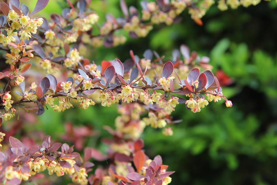 Кусты пурпурного барбариса украсят Перервинский бульвар осенью 2020 года