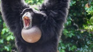 Siamang Gibbons 02 howling and performance