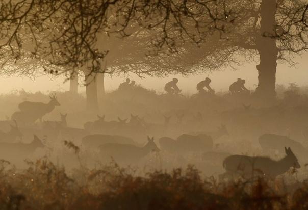 Олени и велосипедисты в утреннем тумане Ричмонд-парк, Лондон, Великобритания. Наши дни.(с) Toby Melville/Reuters