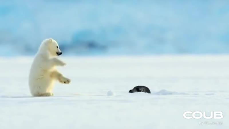 Тюлень да я и сам обалдел! | Polar bear cub is surprised by a seal