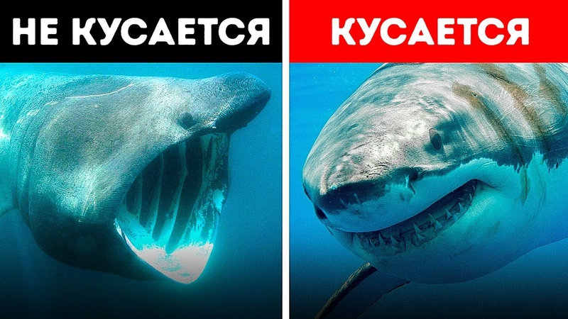 Самые загадочные морские существа из всех которые когда либо существовали Не все акулы кусаются