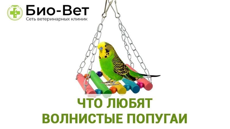 Что любят волнистые попугаи еда игрушки