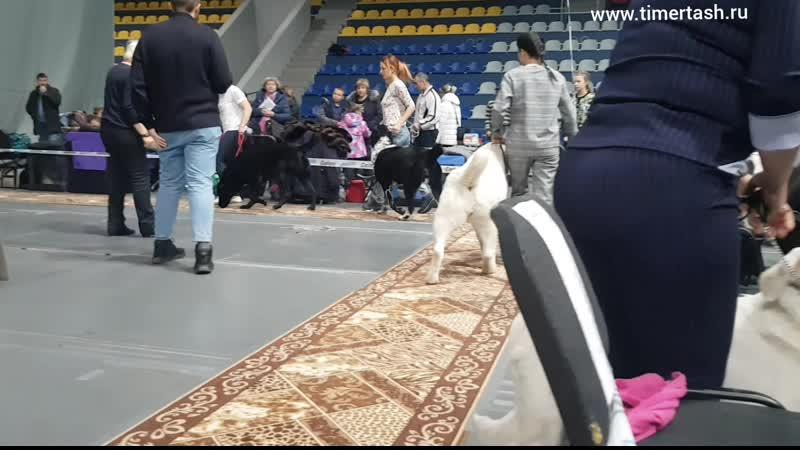 24 ноября 2019 Выставка собак г. Нижний Тагил, эксперт Чуприс Т.С. ТИМЕРТАШ ШЕЙЗАРА дочь Яны и Лондона (Вит Бир Ягана * Зауральс