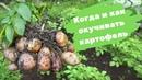 Когда и как окучивать картофель