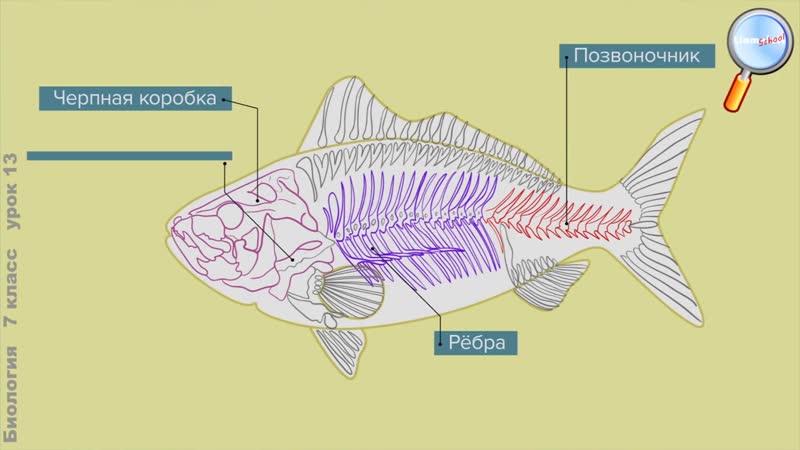 Биология 7 класс Урок№13 Тип Хордовые Класс Рыбы