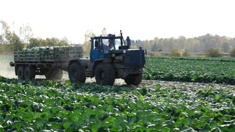 Влог про уборку урожая на Племзаводе Майский