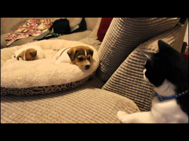 Cat meeting the puppies for the first time.