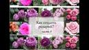 Как сочетать розы часть 8 - розоваяклумба Война роз