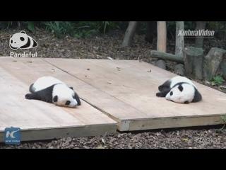 Полуденный сон детенышей панд в Чэнду