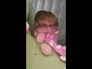 Почему маленькие ежата выглядят как розовые каштан...
