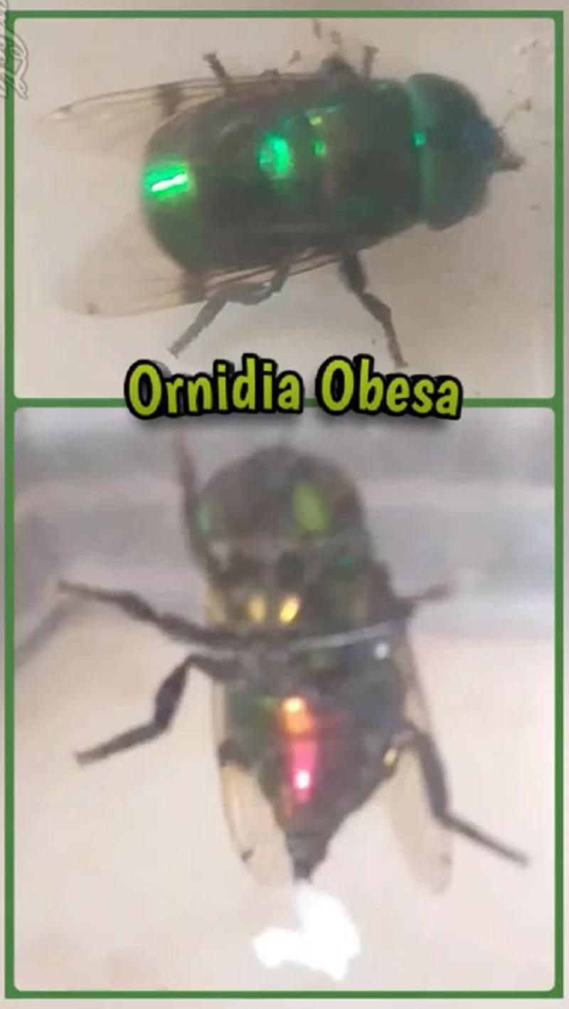 Маленькая муха Ornidia Obesa откладывает около 500 яиц