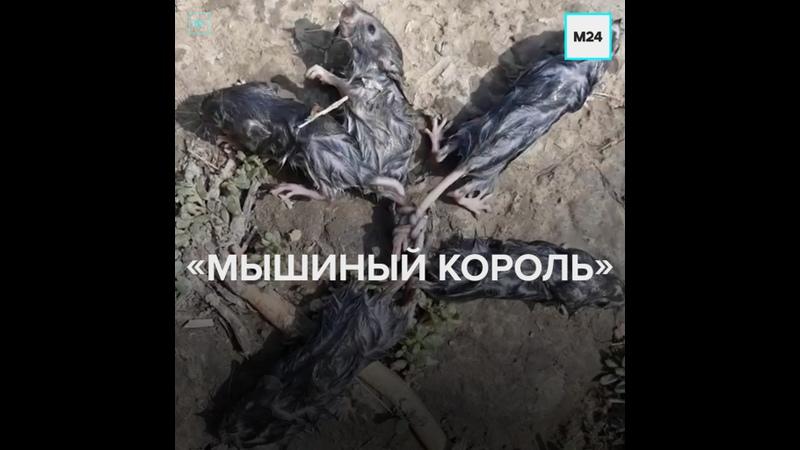 Житель Ставропольского края обнаружил на арбузном поле живого Мышиного короля Москва 24