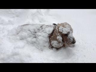 собаки любят снег