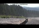 Два тузика и четыре грелки собаки против медведей