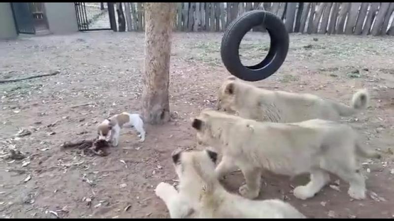 Пёсик не знает страха ну или он очень голодный