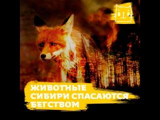 Животные Сибири спасаются бегством