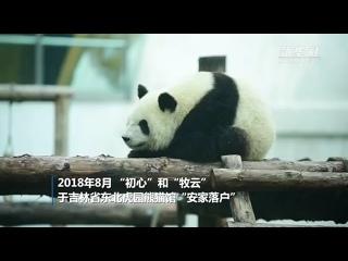 """Панды """"сестры-красотки"""" в парке северо-восточных тигров Цзилиня"""