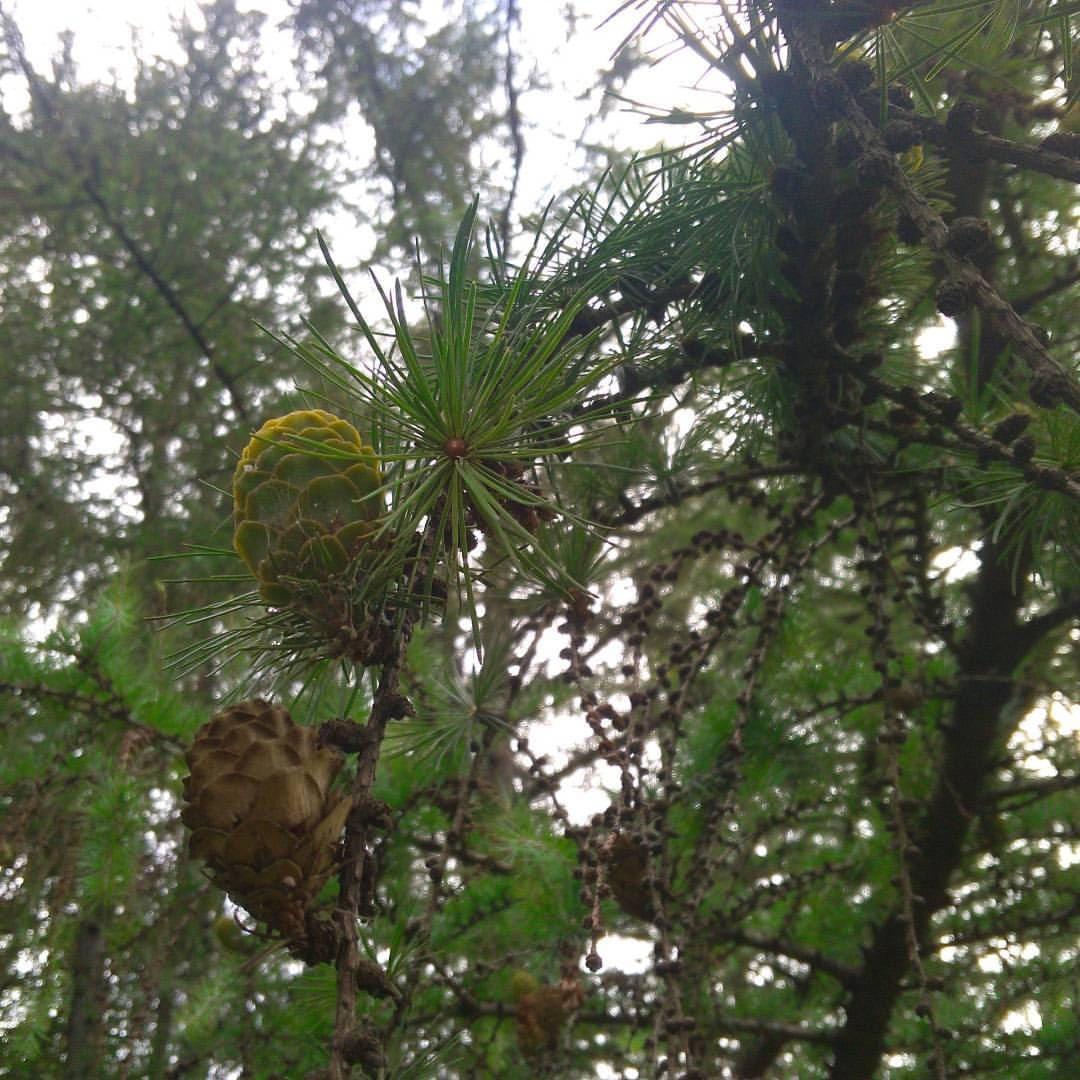 Знаете, какое дерево в России встречается чаще всего?