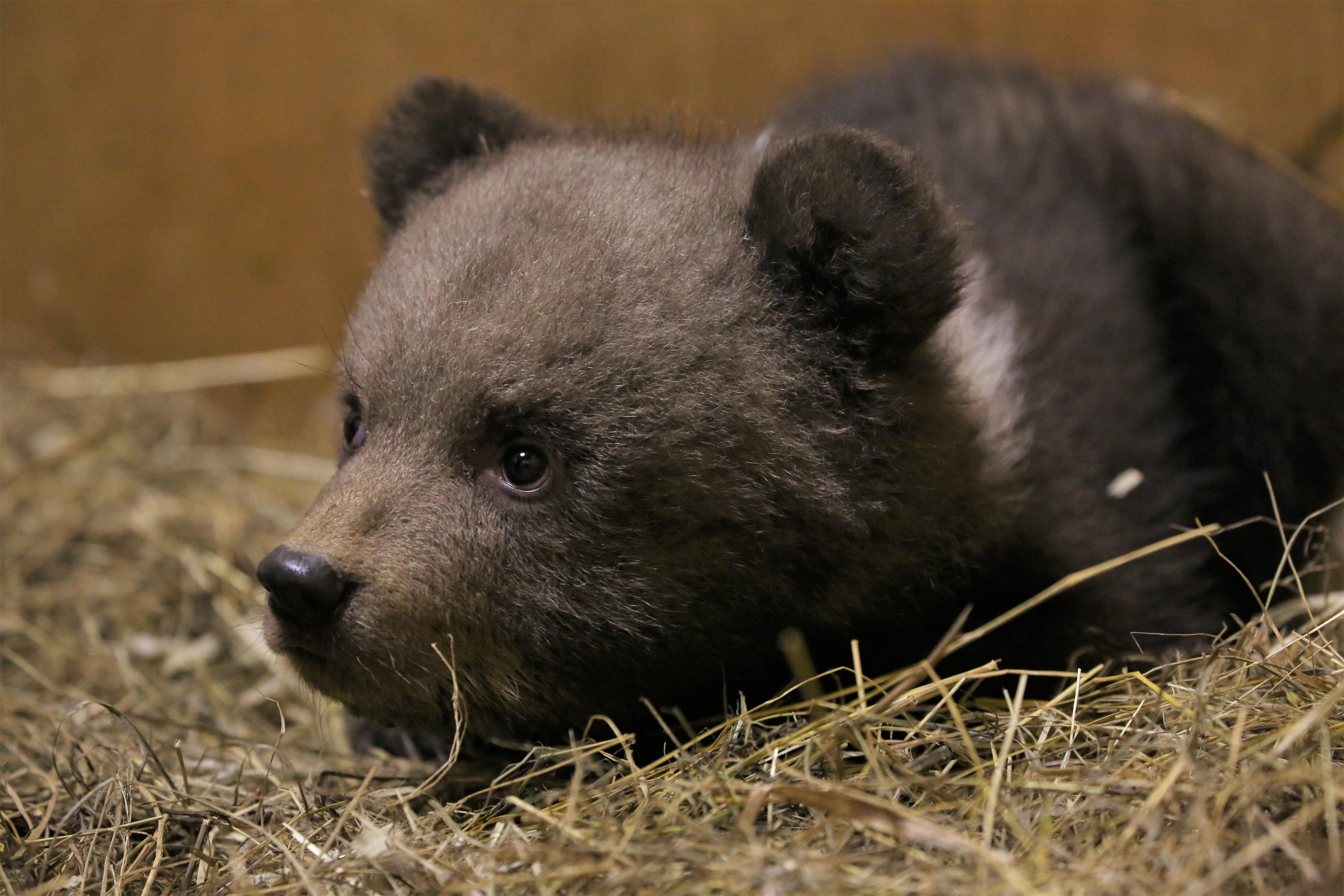 В Тверскую область из Костромы привезли трех медвежат