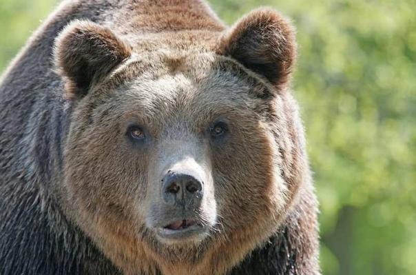 На жителя Приморского края напал медведь.В Надежди...