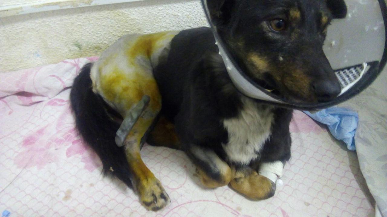 Помогите, пожалуйста собаке Пике собрать деньги за операцию и лечение!🙏🏻🙏🏻🙏🏻К сбору 14.323р.!!!