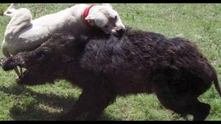 Дикий Кабан Секач против собак волков леопарда и других хищников