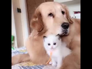 Patient Golden Retrievers Lovingly Cares for Baby