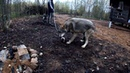 ЯКУТСКИЙ ВОЛЧОНОК ПРЕВРАТИЛСЯ В СВИРЕПОГО ВОЛЧАРУ. Парк для самых крупных волков в мире.