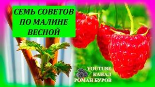 СЕМЬ советов по МАЛИНЕ весной для большого урожая летом. Как выращивать малину на даче весной.